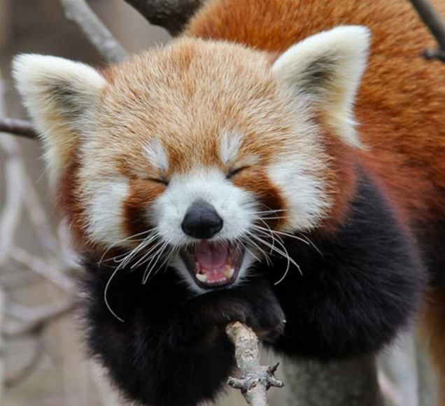 Rusty the red panda